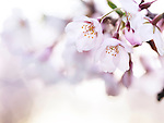 Beautiful pink cherry blossom closeup of flowers with artistic blurry background lit with morning sunlight