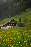 Austrian homes amongst the daisy field. Imst district, Tyrol, Austria.