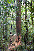 Loggers from Turama Forest Industries cut down a tree, near Morere, in the 'Turama extension' logging concession, Gulf Province, Papua New Guinea, Sunday 7th September 2008.These forests are being felled by Turama Forest Industries - a group company of Malayasian logging giant Rimbunan Hijau. Twenty percent of global greenhouse emissions annually are caused by the deforestation of natural forests worldwide.