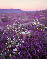 CADAB_111 - USA, California, Anza Borrego Desert State Park, Desert sand verbena and dune evening primrose blooming on dunes at sunrise with Coyote Mountain in the distance --- (4x5 inch original, File size: 6000x7642, 131mb uncompressed)