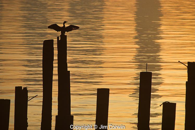 Silhouetted Cormorant on pilings on Elliott Bay at sunrise Seattle Washington State USA