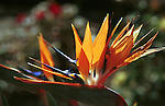 Bird of Paradise flower, Crane flower, Strelitzia, perennial plants, Bird of Paradise flower native to South Africa, California, West Coast of US, Golden State, 31st State, California, CA, Fine Art Photography by Ron Bennett, Fine Art, Fine Art photography, Art Photography, Copyright RonBennettPhotography.com ©