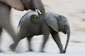 Namibia;  Namib Desert, Skeleton Coast, desert elephant (Loxodonta africana) mother and calf walking, motion blur