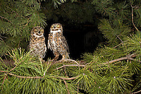 Great Horned Owl, in flight, New Jersey