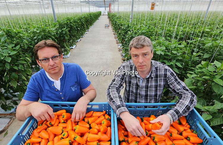 Foto: VidiPhoto<br /> <br /> MAASDIJK - Wim Zuidgeest (r) en Patrick Franken van Vitapep in Maasdijk, telers van Sweet Bite, een snackpaprika. Naast een bedrijf van 11 ha. in het Westland, hebben ze ook een teelbedrijf in Portugal.