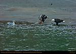Bald Eagle and Juvenile Feeding on Salmon, Squamish River, Brackendale Eagles Provincial Park, Vancouver, British Columbia