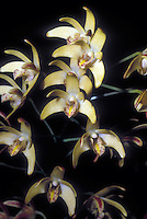Yellow Dendrobium orchid hybrid with Dendrobiums kingianum and speciosum in background