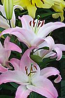 Lilium Souvenir Dwarf oriental lilies