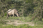 Rhinos, elephants and giraffe all feed on the same thorny acacia trees.  Signs that an elephant has passed through include branches and trunks that have been pushed and broken, like the one on the right.