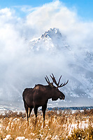 Bull Moose, clearing storm, grand tetons, Grand Teton National Park, Jackson Hole, Wyoming