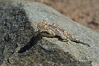 437800009 a wild southern desert horned lizard phrynosoma platyrhinos calidiarum suns on a large rock in mono county california