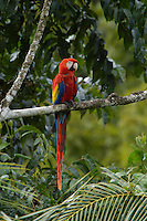A wild Scarlet Macaw, Ara macao, in the rainforest; Corcovado, Costa Rica