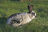 Hauskaninchen, Haus-Kaninchen, Kaninchen, Große Zuchtform