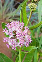 Prairie Milkweed Asclepias sullivantii, butterfly host plant, in flowers