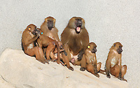 Family group of Guinea Baboons (Papio papio), in the Zone Sahel-Soudan of the new Parc Zoologique de Paris or Zoo de Vincennes, (Zoological Gardens of Paris or Vincennes Zoo), which reopened April 2014, part of the Musee National d'Histoire Naturelle (National Museum of Natural History), 12th arrondissement, Paris, France. Picture by Manuel Cohen