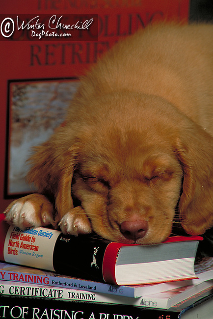 Nova Scotia Duck Tolling Retriever Shopping cart has 3 Tabs:<br /> <br /> 1) Rights-Managed downloads for Commercial Use<br /> <br /> 2) Print sizes from wallet to 20x30<br /> <br /> 3) Merchandise items like T-shirts and refrigerator magnets