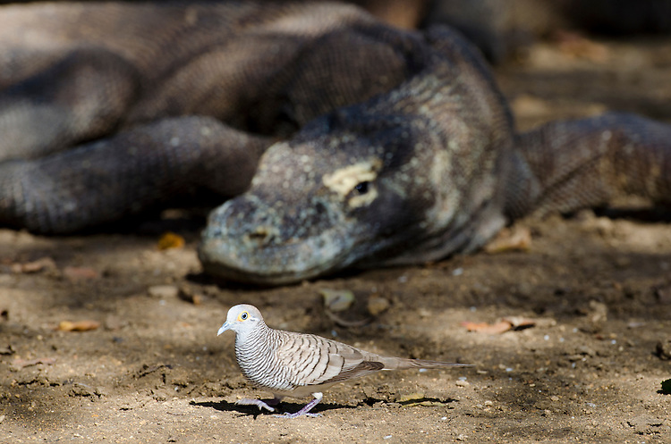 A bird walks in front of an onlooking Komodo Dragon, Varanus komodoensis, Komodo National Park