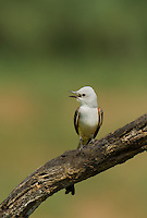 530160023 a wild scissor-tail flycatcher tyrannus forficatus calls from its perch on a mesquite tree branch on laguna seca ranch in the rio grande valley of south texas