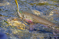 A heavily spotted rainbow trout and fly on a small stream in south central Alaska.