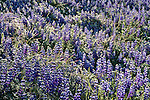 Field of Lupine, Ahwahnee, California