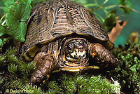 1R40-031x  Eastern Box Turtle - Terrapene carolina