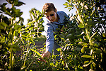 Suzanne Ashworth picks fava beans at Dell Rio Botanical in West Sacramento, CA May 3, 2010.