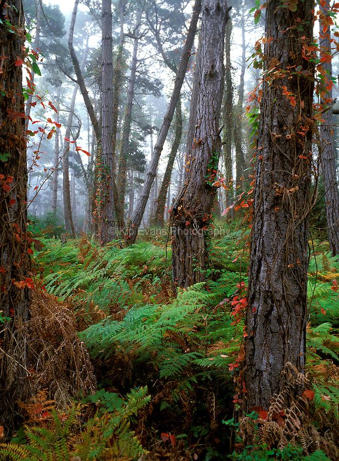 Monterey Pine trees in Pebble Beach, CA