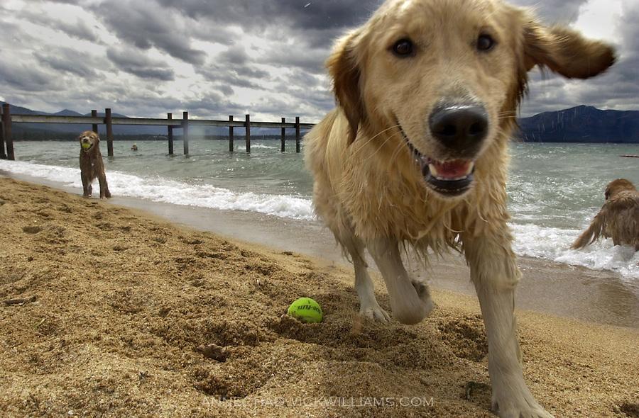 Golden retrievers play in lake tahoe during a week long dog c