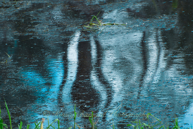 &quot;TOOLEY BLUE SKUNK&quot;<br /> <br /> The story of this photograph can be found at http://kinseybarnardfineart.blogspot.com/2014/01/click-on-image-to-go-to-full-gallery.html<br /> <br /> Trees reflecting in Tooley Lake Montana Kootenai National Forest ORIGINAL 24 X 36 GALLERY WRAPPED CANVAS SIGNED BY THE ARTIST $2,500. CONTACT FOR AVAILABILITY.