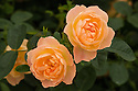 Rosa The Lark Ascending ('Ausursula'). An English Musk hybrid first introduced by David Austin in 2012.