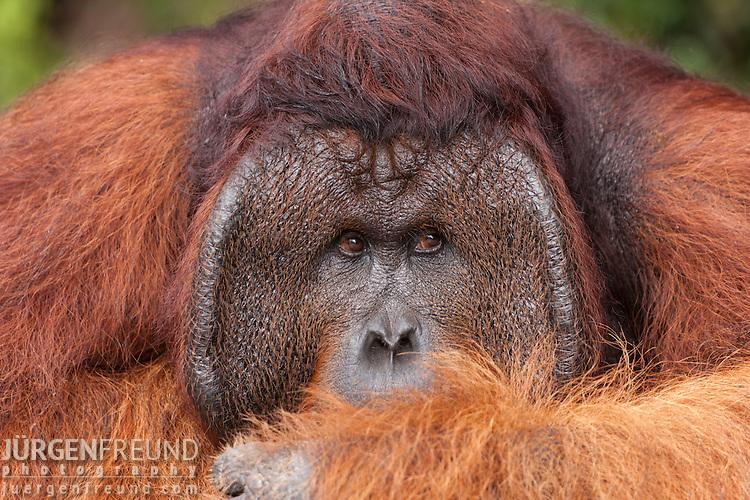 Orangutan King Bornean Orangutan  Pongo