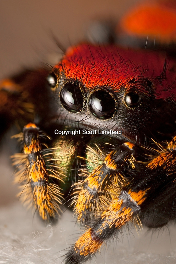 A close-up of an apache jumping spider in its web.