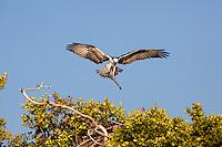Osprey building a nest in Cuba