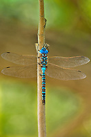 339360042 a wild male blue-eyed darner rhionaeschna multicolor perches on a tree branch at blackrock springs inyo county california