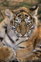 684080066 a captive siberian tiger cub panthera tigris altaicia portrait species is highly endangered native to the high steppe plateaus of central asia and this is a wildlife rescue animal