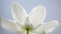 Wood-anemone, Anemone nemorosa, Kallhall, Uppland Sweden