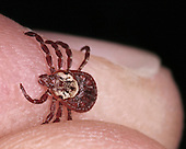 American Dog or Wood Tick on human fingers.