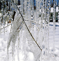 ICICLES & ICE COVERED BRANCHES