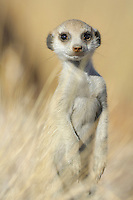 Suricate or Slender-tailed Meerkat head (Suricata suricatta), Namibia.