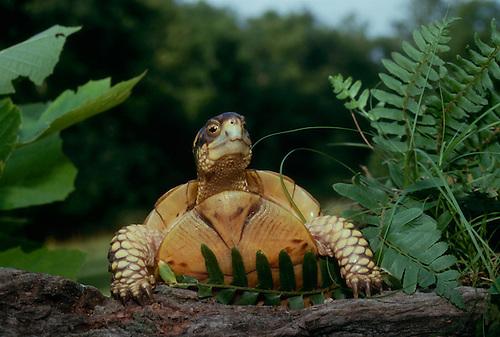 Box turtle (Terrapene carolina) peeks over a log in the shade garden. Missouri USA