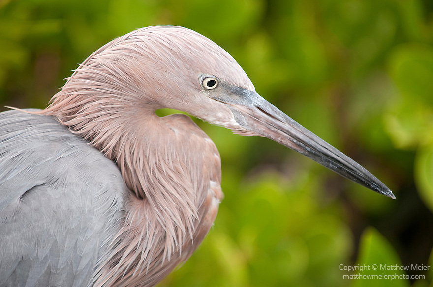 Ding Darling National Wildlife Refuge, Sanibel Island, Florida; a Reddish egret (Egretta rufescens) bird standing at the edge of the mangroves, fishing for food in the shallow water below © Matthew Meier Photography, matthewmeierphoto.com All Rights Reserved