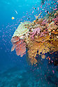 Colorful overhang with soft corals and gorgonians.  Fiji