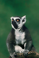 654000300 a captive zoo animal ringtailed lemur sits on a large branch in its enclosure at an aaza accredited zoo facility - species is native to the island of madagascar