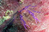 The hairy squat lobster, Lauria slagiani, is found alone, and in pairs, on the outside of barrel sponges belonging to the genus Xestospongia.  They are tiny (one centimeter across) and difficult to find on the folds of the sponge.  Mabul Island, Malaysia.