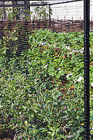 Protecting food crops behind bird netting fruit cage, blueberries Vaccinium, strawberries Fragaria