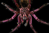 Blue Bloom Birdeater Tarantula (Pamphobeteus nigricolor) captive.
