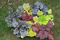 Heuchera &amp; Heucherella collection of many varieties of colorful foliage plants