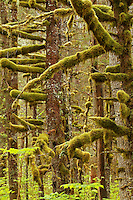 Moss-draped forest trees, Alaska, USA