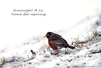 Spring robin walking through ice and snow with tips of grass poking up -- not worth migrating for.