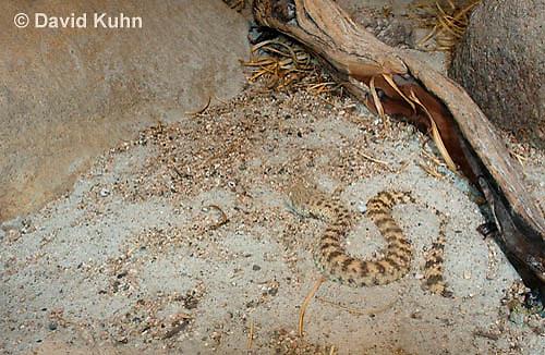 0424-1104  Camouflaged Snake, Sahara Sand Viper (Avicenna viper), North African Desert, Cerastes vipera  © David Kuhn/Dwight Kuhn Photography